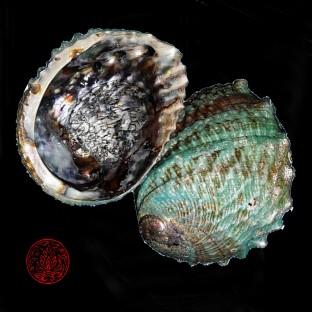 Abalone Green iris naturelle 12/15cm pour fumigation à la sauge